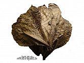Seemandelbaumblätter 12 St.